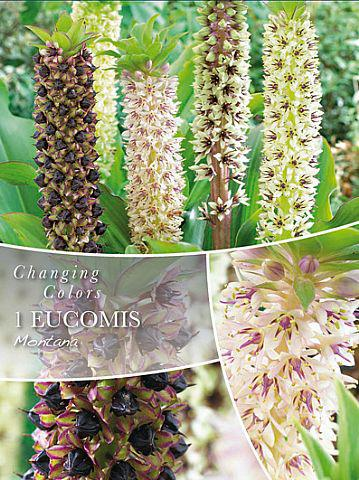 Eucomis, Ananaslilje, Changing Colors