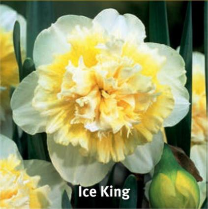 Narcis, Narcissus Ice King