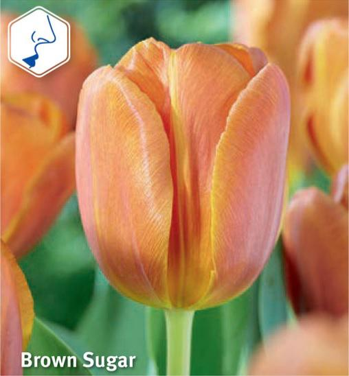 Tulipan Brown Sugar, Triumph